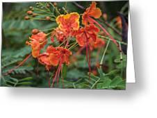 Orange Poinciana Tree Greeting Card