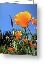 Orange Poppy Blue Sky Greeting Card