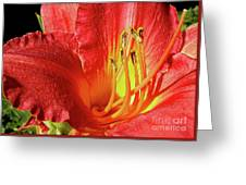 Orange-red Day Lily Greeting Card