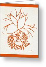 Orange Seaweed Marine Art Furcellaria Fastigiata Greeting Card