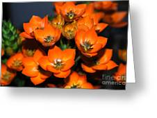 Orange Starflower Greeting Card