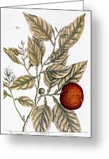 Orange Tree, 1735 Greeting Card