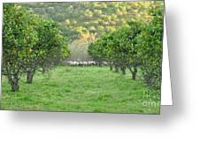 Orange Trees And Sheep Flock Greeting Card
