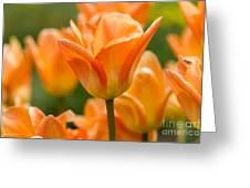Orange Tulips 2 Greeting Card