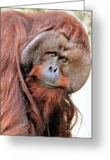 Orangutan Male Closeup Greeting Card