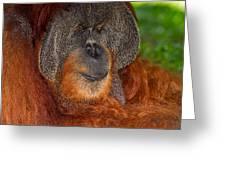 Orangutan Male Greeting Card