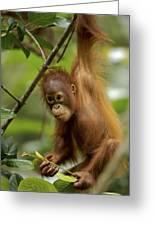Orangutan Pongo Pygmaeus Baby Swinging Greeting Card