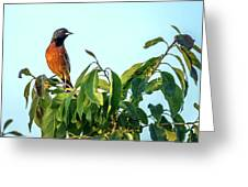 Orchard Oriole Songbird Perched On A Bush Greeting Card