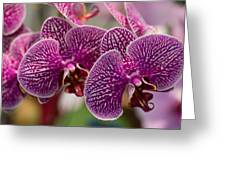 Orchid Ascda Laksi Greeting Card