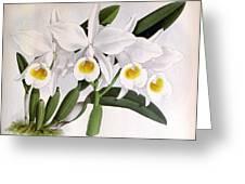 Orchid, C. Eldorado Virginalis, 1891 Greeting Card