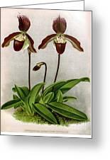 Orchid, C. Oenanthum Superbum, 1891 Greeting Card