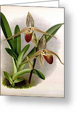 Orchid, Cypripedium Elliottianum, 1891 Greeting Card