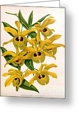 Orchid, Dendrobium Chrysotis, 1891 Greeting Card