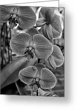Orchid Glory Black And White Greeting Card