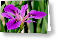 Orchid Iris Greeting Card
