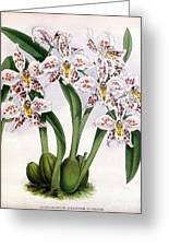 Orchid, O. Alexandrae Plumatum, 1891 Greeting Card