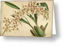 Orchid Odontoglossum Andersonianum Grenada  Greeting Card