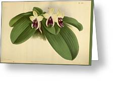 Orchid Phalaenopsis Violacea Singapore  Greeting Card