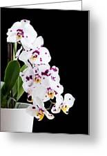 Orchid Phalaenopsis White Flower Greeting Card