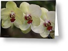 Orchid White Trio Greeting Card