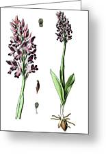 Orchis Militaris, The Military Orchid Greeting Card