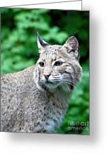 Oregon Bobcat Greeting Card