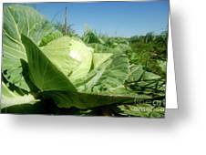 Organic White Cabbage  Greeting Card