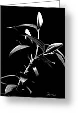 Oriental Lily Two Greeting Card