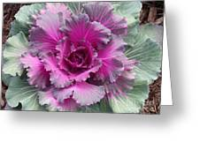 Ornamental Red Cabbage Greeting Card
