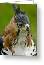 Ornate Hawk Eagle Greeting Card