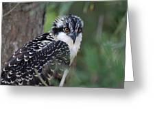 Osprey 31 Greeting Card