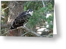 Osprey 35 Greeting Card