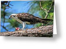 Osprey Breakfast Break Greeting Card