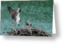 Osprey Bringing Fodd To The Babies Greeting Card
