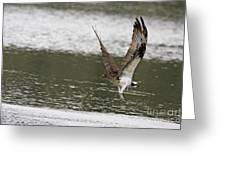 Osprey Dive Greeting Card