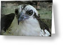 Osprey Portrait Greeting Card