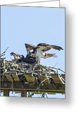 Osprey Family Portrait No. 1 Greeting Card