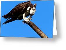 Osprey Feeding 014 Greeting Card