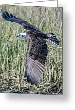 Osprey Flying  Greeting Card