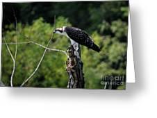 Osprey Gaze II Greeting Card