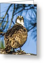 Osprey Head Turn Greeting Card