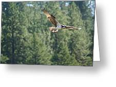 Osprey In Flight 6 Greeting Card