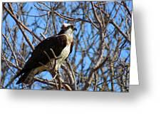 Osprey In Spring Greeting Card