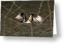 Osprey In The Creek Greeting Card