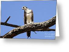 Osprey In The Trees Greeting Card