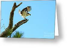 Osprey Landing Greeting Card