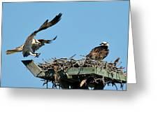 Osprey Landing In Nest Greeting Card