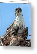 Osprey Nesting Greeting Card