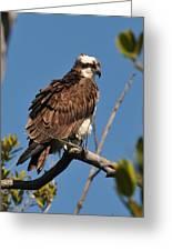 Osprey On Perch Greeting Card