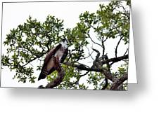 Osprey Perch  Greeting Card